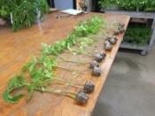 Plant Transplants