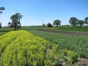 Yellow Mustard Cover Crop