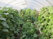 Cucumber Plants in High Tunnel