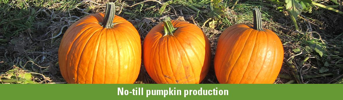 No-till pumpkin production