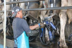 An employee works with the cattle on the McNamara dairy farm.