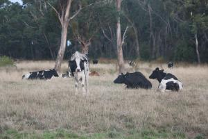 Donna Edge's cattle relax in the shade in Victoria, Australia.